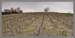 Les vignes sont taillées