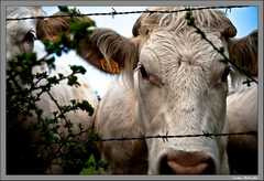 Une vache et demi